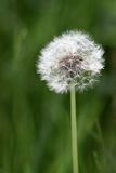 Dandelion fuzz. `Bees will buzz, kids will blow dandelion fuzz Stock Images