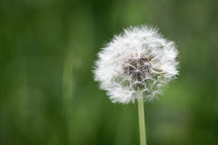 Dandelion fuzz. `Bees will buzz, kids will blow dandelion fuzz Royalty Free Stock Photos