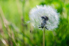 Dandelion fuzz in green grass. White dandelion fuzz in grass Stock Images