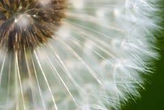 dandelion głowa obraz stock