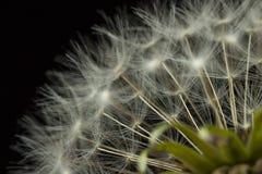 Dandelion głowa Zdjęcie Stock