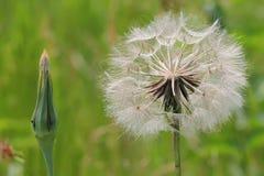 Dandelion głowa nad zieleni polem Zdjęcia Stock
