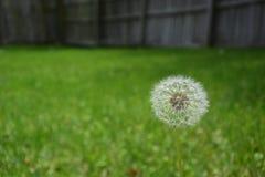 Dandelion głowa w trawie Obrazy Royalty Free