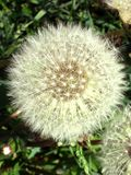 Dandelion in the garden stock photography