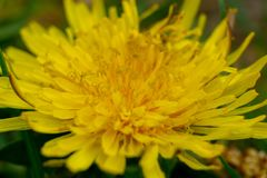 a dandelion in the garden macro stock images
