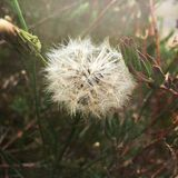 Dandelion Garden Vintage Plant. Make a wish. Dandelion flowering in the garden with white stock images