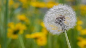 Dandelion gently moving with the wind during spring stock footage