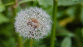 Dandelion gently moving with the wind during spring. Macro with a shallow or narrow depth of fieldn stock footage