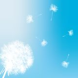Dandelion gift card Royalty Free Stock Images