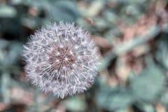 A white dandelion giving seeds stock photos