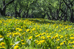 Dandelion glade Royalty Free Stock Image