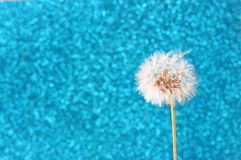 Dandelion with glittering blue background Stock Images