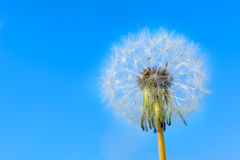 Dandelion globular head of seeds on the blue sky background Stock Photo