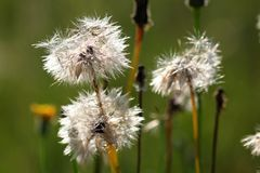 Dandelion - Globular heads of seeds Stock Photography
