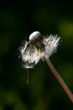 Dandelion Gone To Seed Stock Image