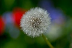 Dandelion gone to seed flower in a garden, center focus blur background at springtime in a park royalty free stock images