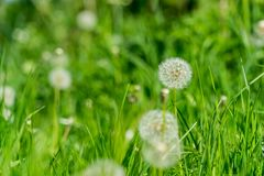 Dandelion gone to seed flower in a garden, centre focus blur background at springtime in a park Stock Photography