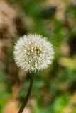 Dandelion Gone to Seed Stock Photography