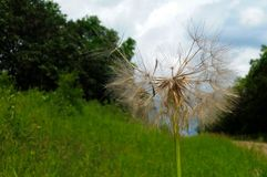 Dandelion gone to seed in Southern Manitoba royalty free stock photo