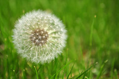 Dandelion in Grass Stock Photos