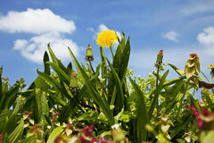 Dandelion among grass Stock Photography