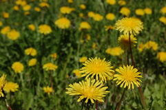 Dandelion in grass. Dandelion infested lawn in summer Stock Image