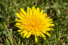Dandelion and grass Stock Images