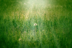Dandelion in the grass Stock Image
