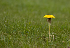 Dandelion in grass Royalty Free Stock Image