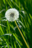 Dandelion in grass. White expanded dandelion flower in green grass stock images