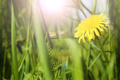 Dandelion in grass Royalty Free Stock Images