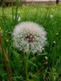 Dandelion. In the grass Royalty Free Stock Photo