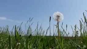 Dandelion in the grass against the sky.  stock video