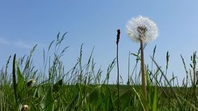 Dandelion in the grass against the sky.  stock video footage
