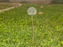 Dandelion on the grass Stock Images