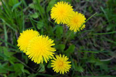 Dandelion on the grass Royalty Free Stock Photo