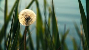 Dandelion on grass background, close-up. One Dandelion in the sun against the blue water stock footage