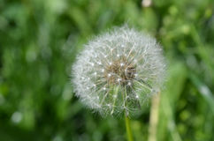 Dandelion. In the grass background closeup Royalty Free Stock Photography
