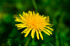Dandelion in the grass. Blooming dandelions in the grass Stock Images