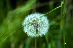 Dandelion in the grass Stock Images