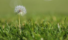 Dandelion in the grass Royalty Free Stock Photography