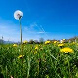 Dandelion on grass field Stock Photo