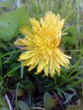 Dandelion grass field flower yellow green. Yellowflower nature floral meadow summer plant royalty free stock images