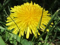 A dandelion in the grass. A dandelion with golden petals and surrounded by grass Stock Photo
