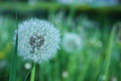 Dandelion. In a grass green field Stock Photo