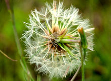 Dandelion. In grass, macro shot Royalty Free Stock Image