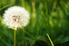Dandelion in grass Royalty Free Stock Photography