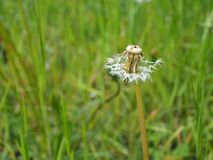 Dandelion in grass partly blown away by the wind stock photos