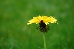 Dandelion in the grass Stock Photos