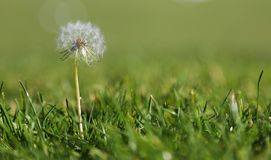Dandelion in the grass stock image